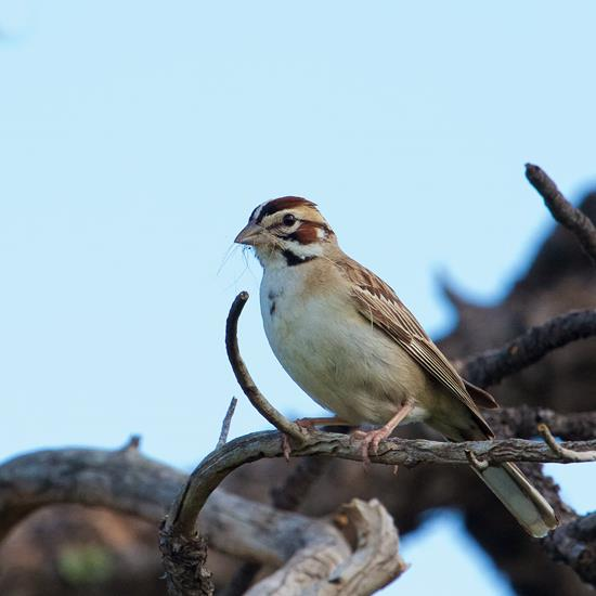 A Lark Sparrow Carries Nesting Material