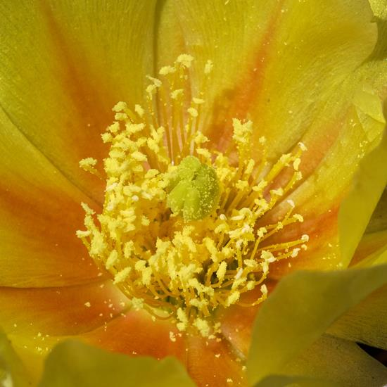 A Prickly Pear Cactus in Flower