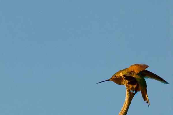 Shaped Like a Dart, a Rufous Hummingbird Prepares to Strike