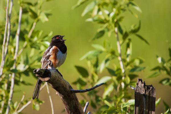 A Spotted Towhee Proclaims His Territory