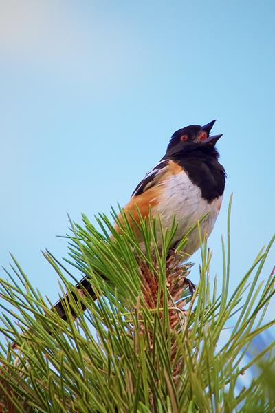 A Spotted Towhee Sings
