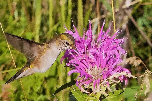 ​This Broad-tailed Hummingbird Tastes a Bee Balm