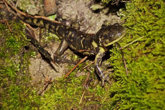 A Western Tiger Salamander