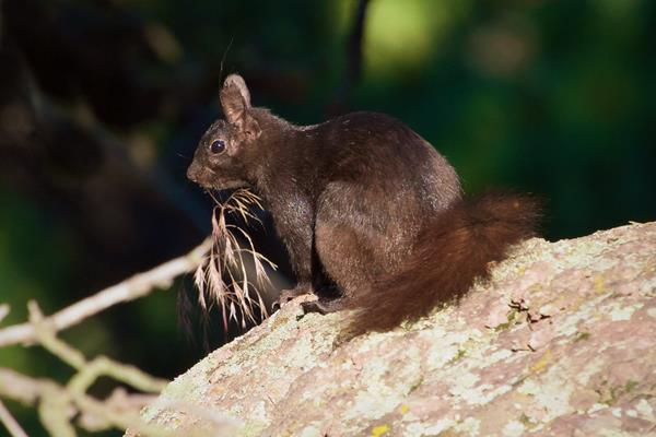 An Abert's Squirrel in the Sun