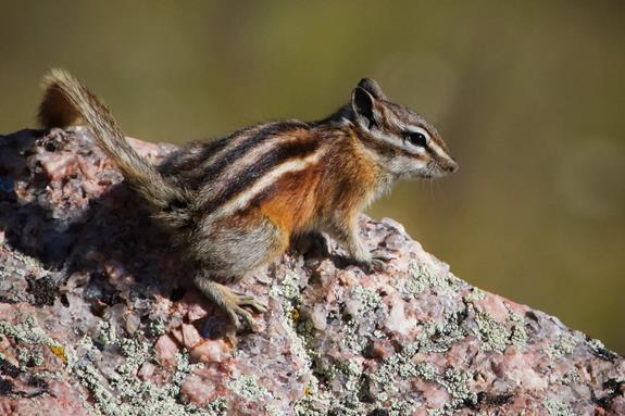 This Colorado Chipmunk Jumped Up on the Rock