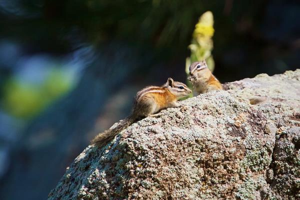 A Pair of Colorado Chipmunks