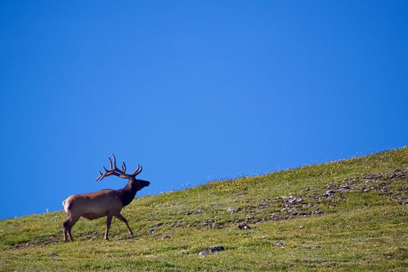 A Bull Elk on the Horizon