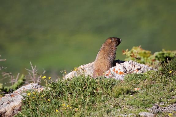A Yellow-bellied Marmot Sits and Looks​