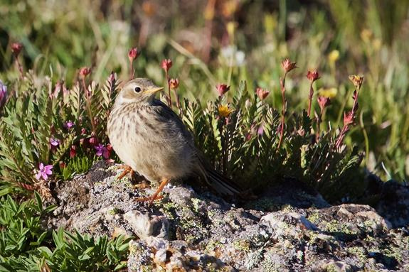 ​​This American Pipit Seems to Have its Own Rock Garden