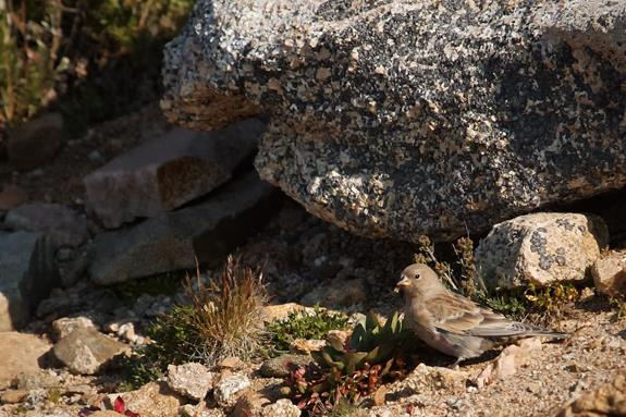 An American Pipit Also Enjoyed the Tundra