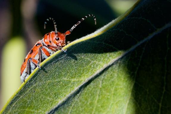 A Milkweed Beetle on a Milkweed Plant