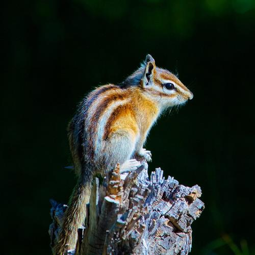 A Colorado Chipmunk Poses