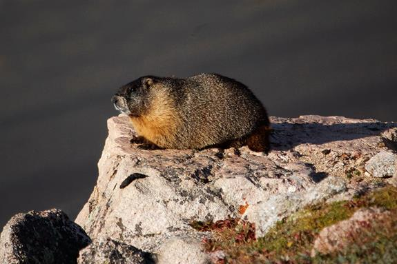 This Yellow-bellied Marmot Looks Ready for Winter