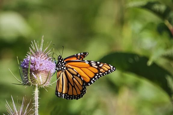 A Monarch Butterfly Feeds on a Thistle