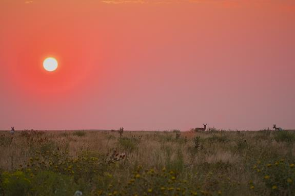 The Sun Rises on Pronghorn and Sunflowers