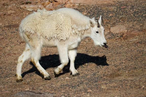 This Mountain Goat Wasn't Sticking Its Tongue Out at Me