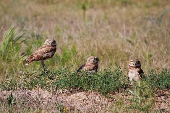 Three Burrowing Owls Watch Me Carefully