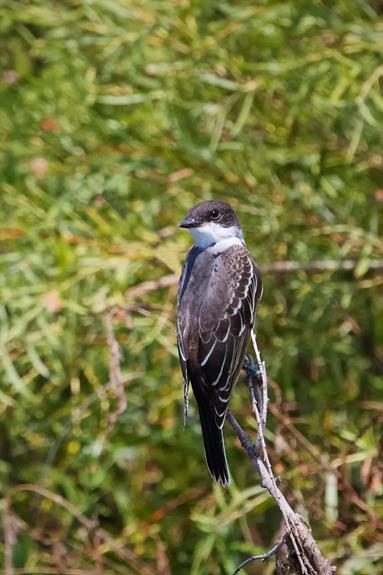 One of the Eastern Kingbirds along Crow Creek