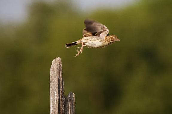 A Sparrow Flies When We Approach It