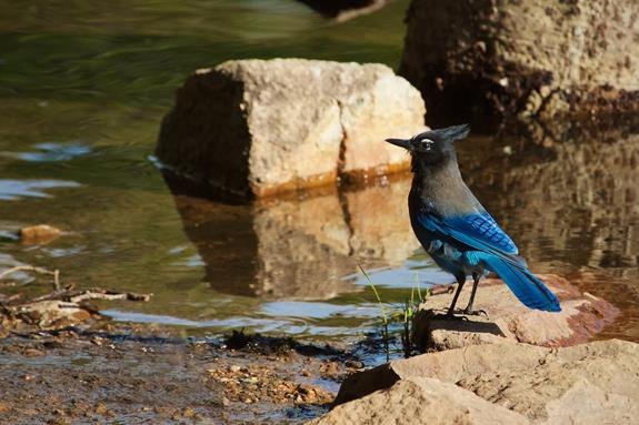 ​A Steller's Jay at the Shore of Brainard Lake