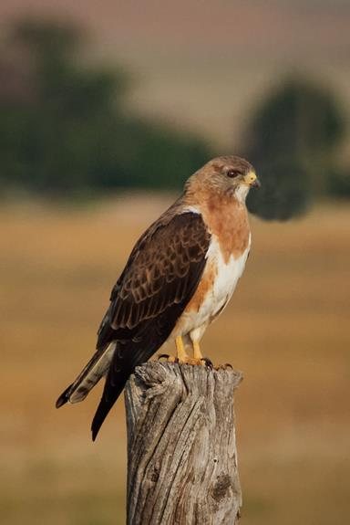 A Swainson's Hawk Stays Put