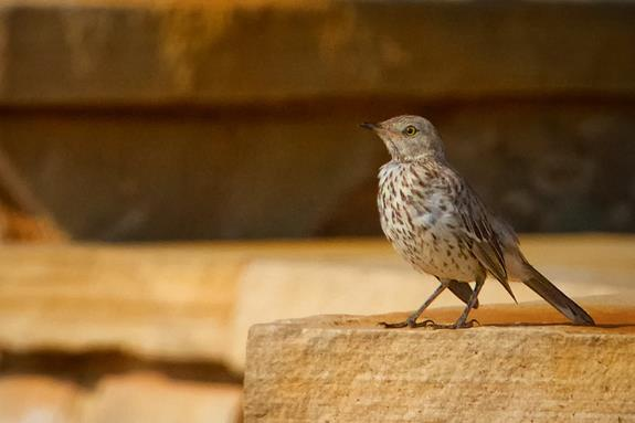 A Sage Thrasher Is Usually Shy