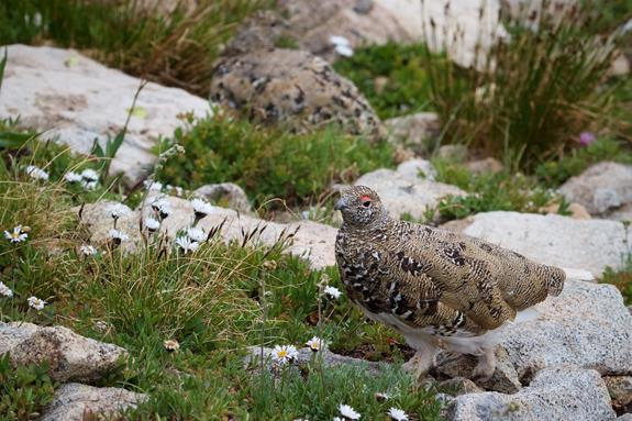 The Male Ptarmigan