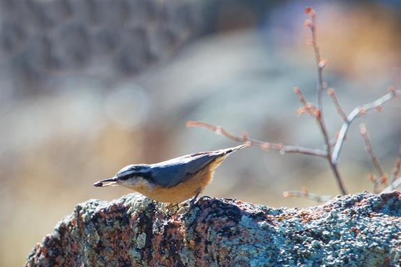 Even the Red-breasted Nuthatch Rests for a Moment