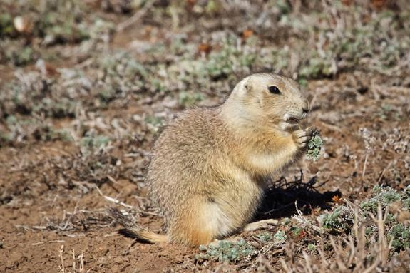 A Prairie Dog Eats a Plant for Breakfast