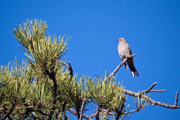 ​This Townsend's Solitaire Lives Here All Year