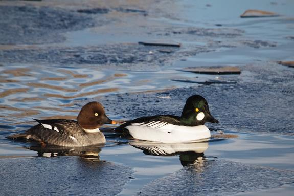 ​A Female Goldeneye (left) with a Male
