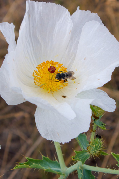 When I Blew on this Prickly Poppy, I woke up this Bee Sleeping in the Stamens