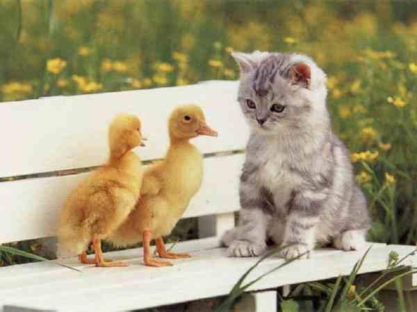 http://www.mendosa.com/kitten_ducklings.jpg