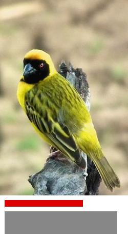 A Masked Weaver