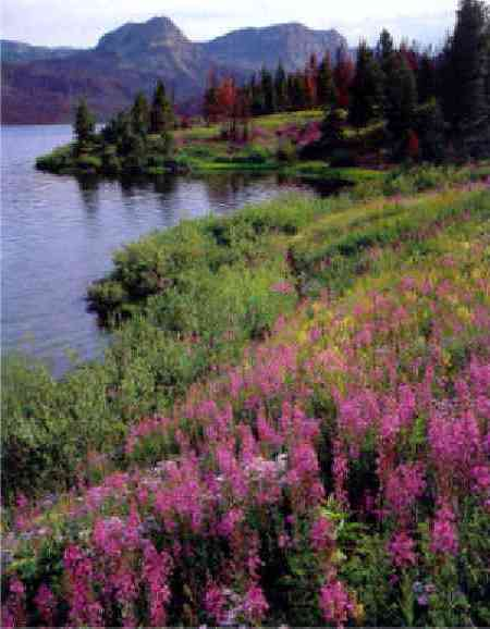 Fireweed at Trappers Lake