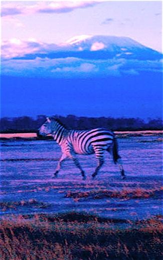 A Lone Zebra below Kilimanjaro